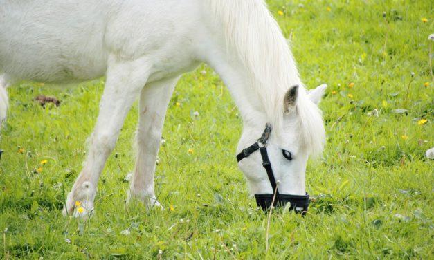 Help! My Pony Won't Keep His Grazing Muzzle On!