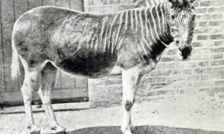 Extinct Zebra Subspecies Could Aid Equine Research