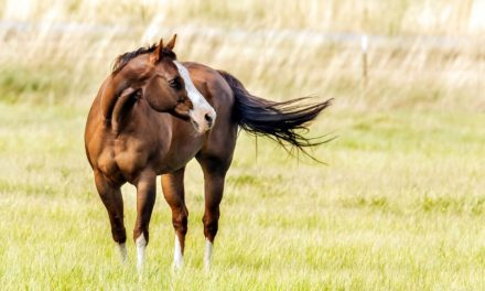 U of M Launches Largest-Ever Equine Muscle Disease Study