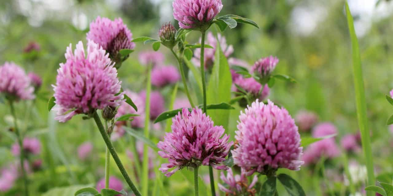 The Gr Guide Red Clover