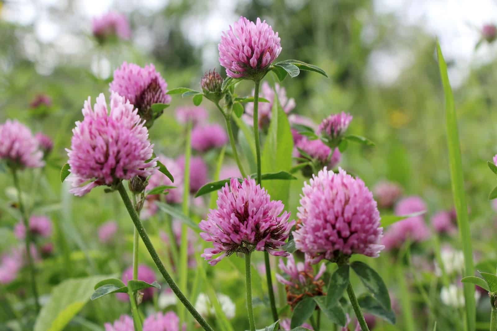 The Grass Guide Red Clover The Horse