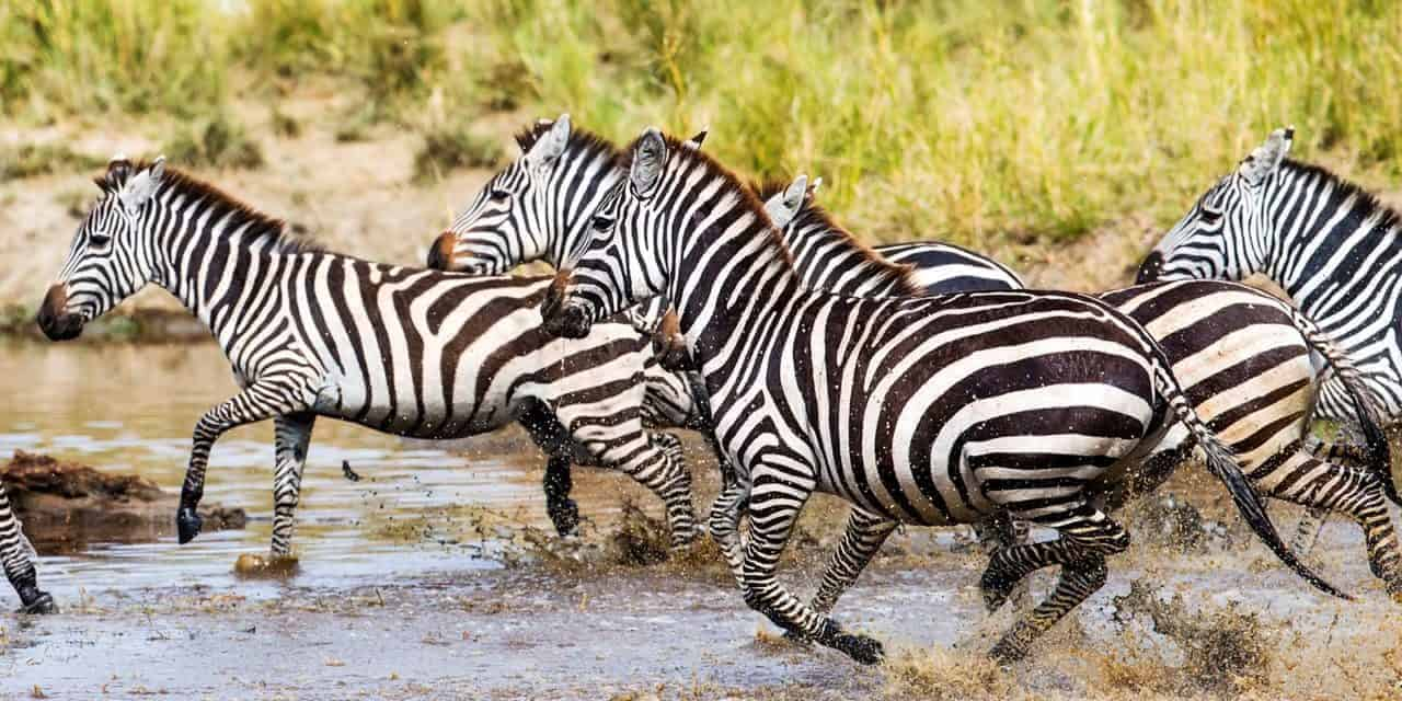 Study: Zebra Stripes Could Confuse Predators – The Horse