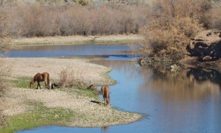 Bill Would Put Salt River Herd Under State Jurisdiction