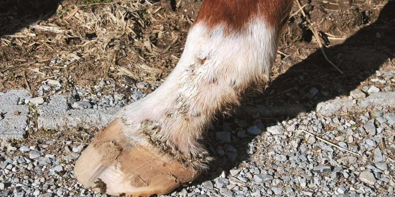 Equine Pastern Dermatitis: A Pathologist's Perspective