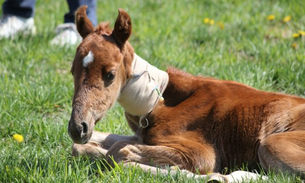 Amikacin/Ampicillin: Combo of Choice for Septic Foals