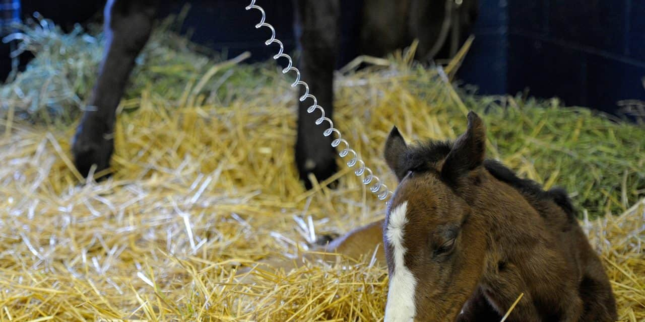 Caring for Critically Ill Newborn Foals