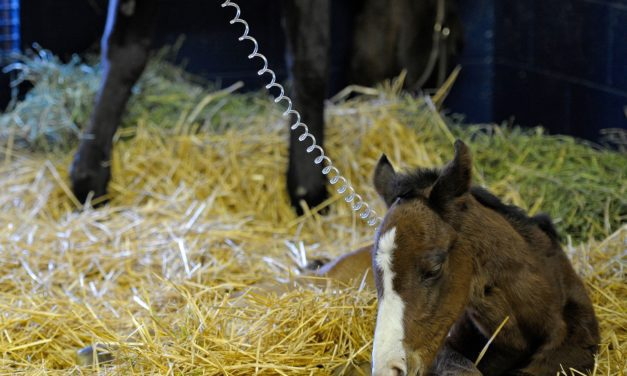 Scientists Test Probiotic for Interrupting <em>C. Difficile</em> Outbreaks in Foals