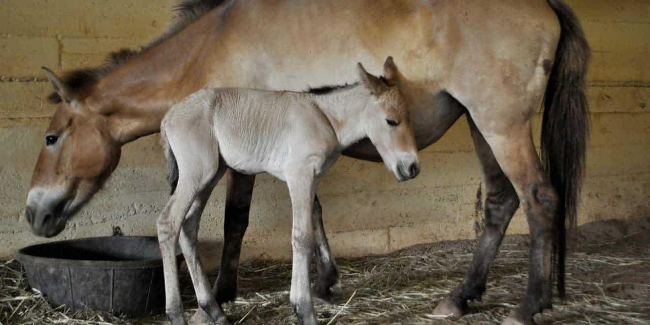 Przewalski's Horse Foal Born via Artificial Insemination