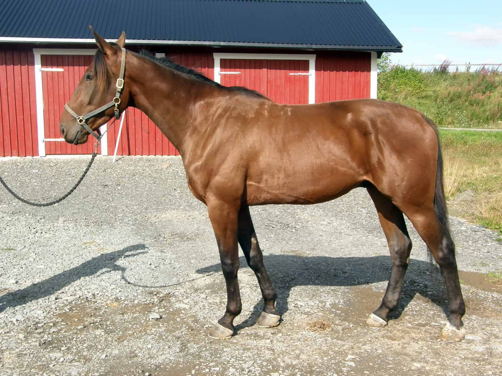 Standardbred Racehorses – The Horse