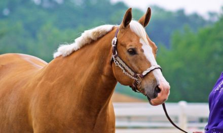 Improving Horse Welfare at Stock-Breed Shows