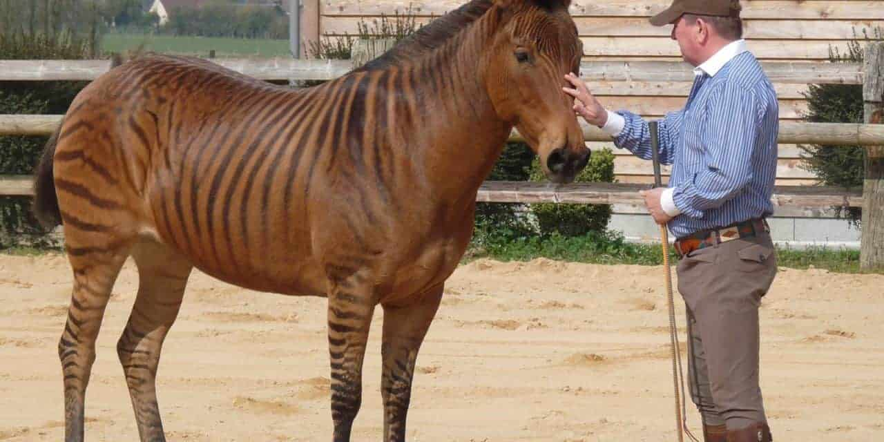 Zorse For Sale >> Training A Zorse A Learning Theory Exercise The Horse