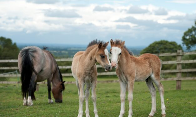 Seeing Double: Handling Equine Twins
