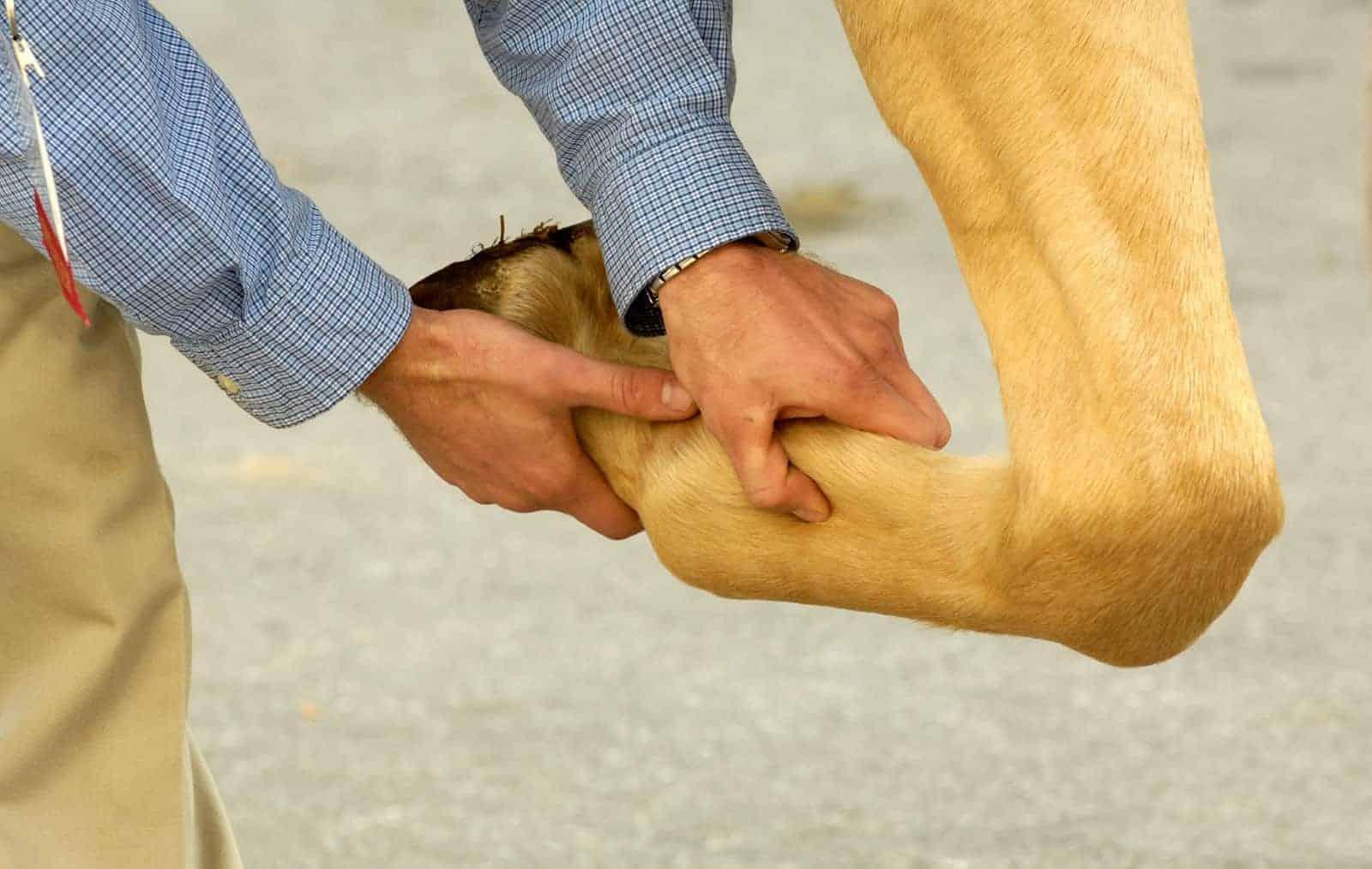 Vet palpating horse's leg