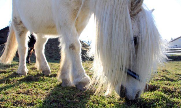 Feeding Horses With Endocrine Disorders