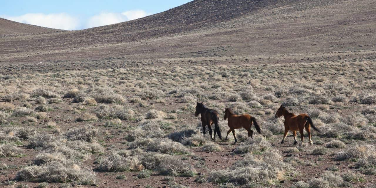 BLM To Hold Hearing on Vehicle Use in Wild Horse Management