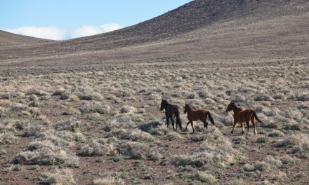 BLM Nevada Gathering Horses from U.S. Hwy 93/State Route 322