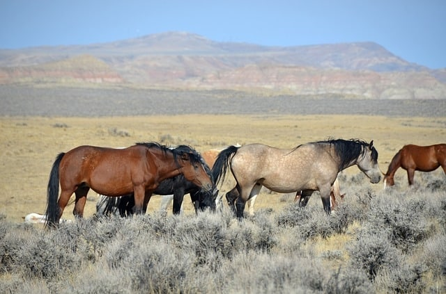 Image result for wyoming wild horses