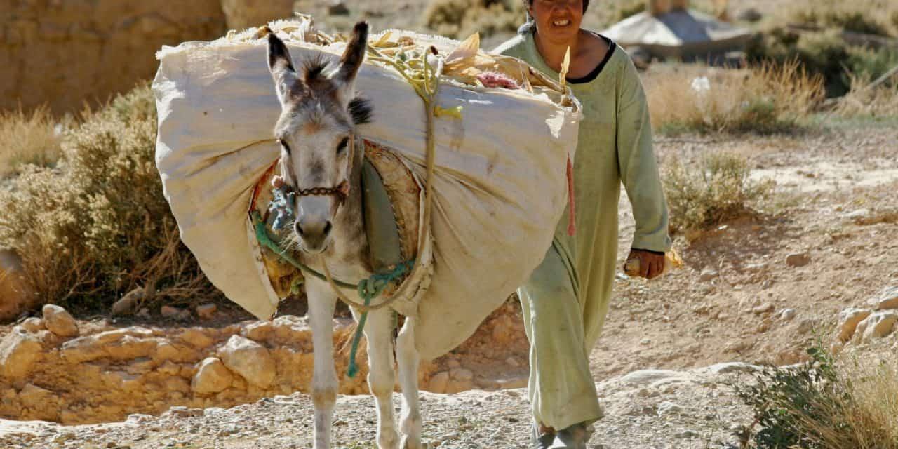 study reveals working donkey pain behavior the horse