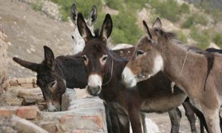 Researchers Identify Signs a Painful Donkey is Improving