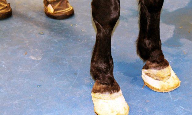 Canker Hoof Infections Make Cranky Horses