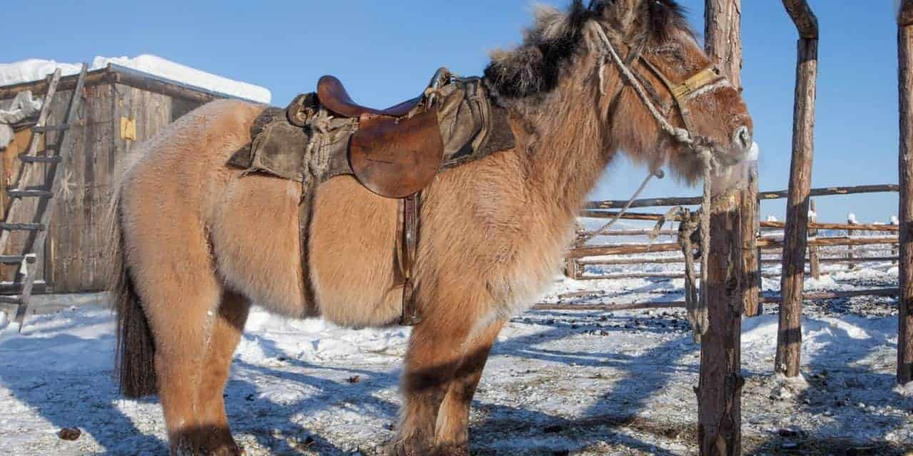 Scientists Study Rapidly Adaptive Horse Breed The Horse