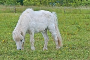 ppid and laminitis