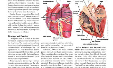 Cardiology: The Equine Heart