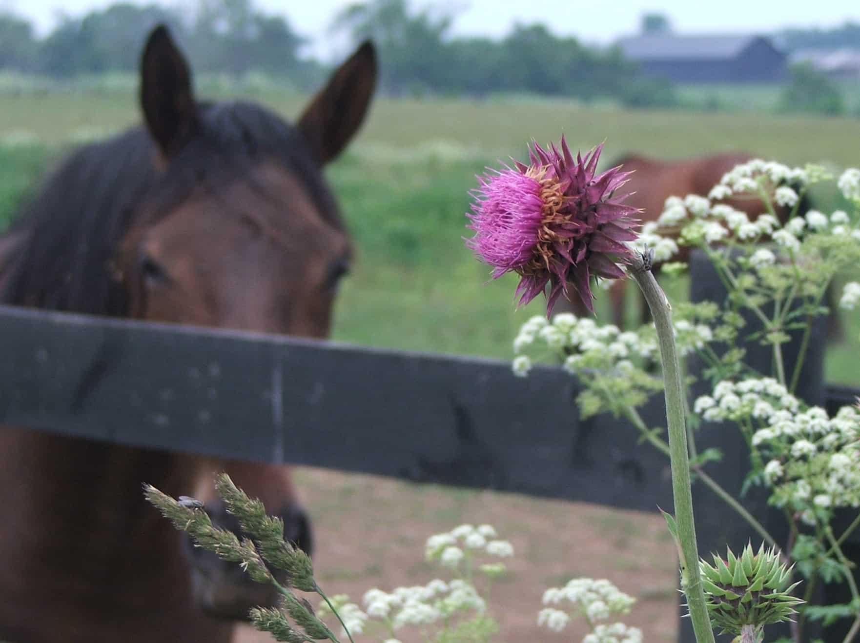 Poisonous Plants The Horse