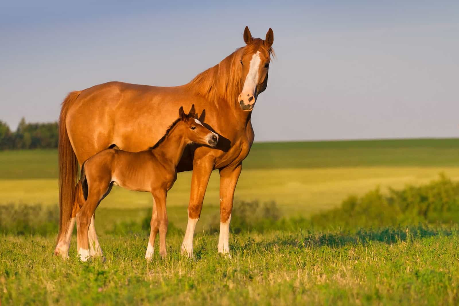Commercial Equine <em>In Vitro</em> Embryo Production: What to Expect