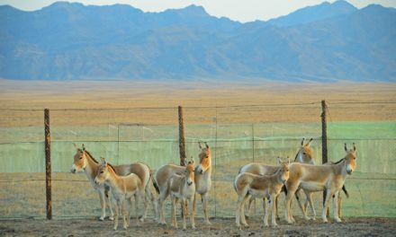 Asiatic Wild Ass Returns to Kazakhstan's Central Steppes