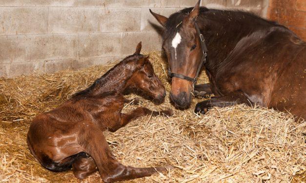 Foaling Rates 'Good' Following Pregnancy Loss in Horses