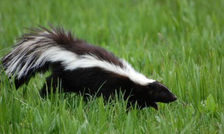 Help! A Skunk Sprayed My Horse