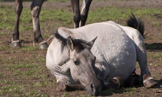 Equine Colic Imitators