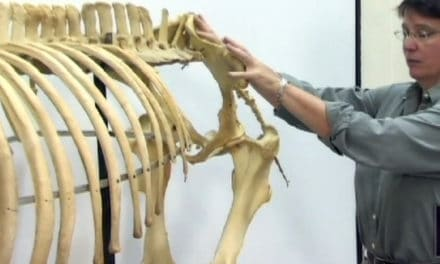 The Horse's Skeleton: Hind Limbs