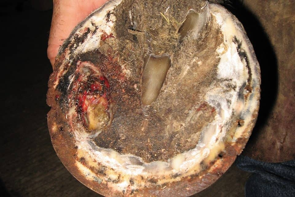 horse hoof abscess diagram horse trailer wiring diagram 5 pin