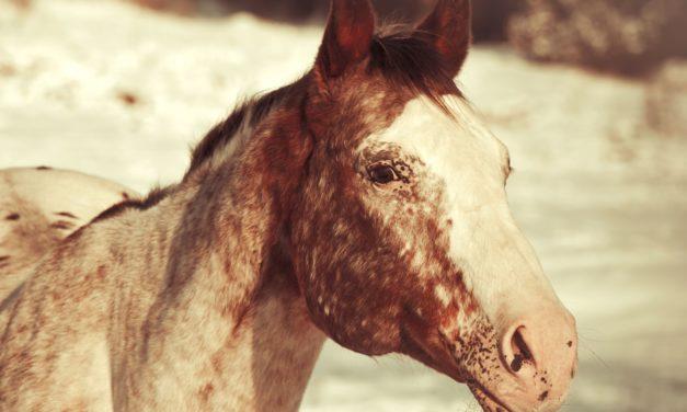 Retina and Optic Nerve Disease in Horses