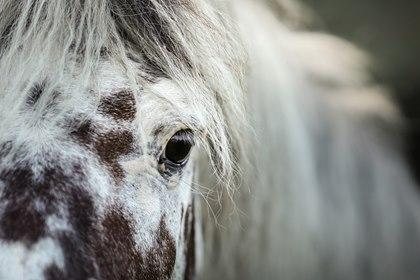 Equine Recurrent Uveitis