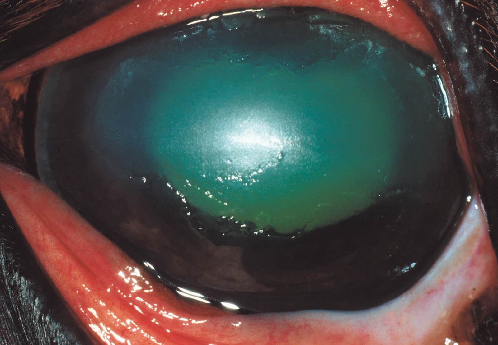 Fungal Ulcers In The Equine Eye