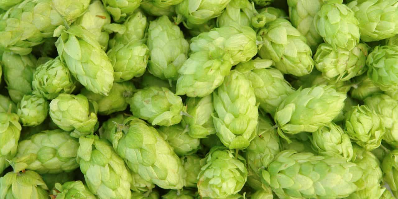 Study: Hops Can Help Reduce Fructan Fermentation
