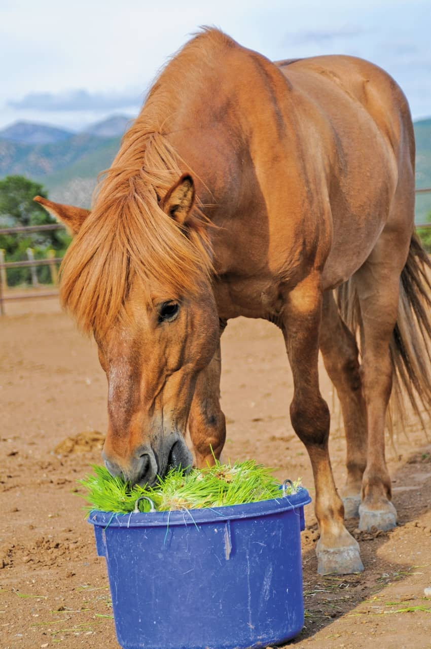Can Fodder be Included in a Horse's Feeding Program?