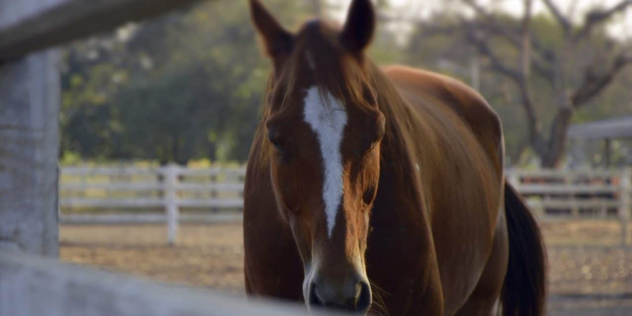 Researchers Test 'Composite Pain Scale' for Horses