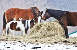 Horses Eating from Round Bale in Snow