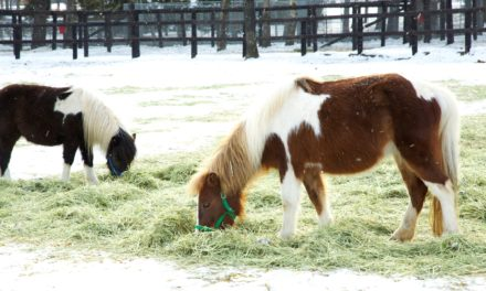 Study: Hay Helps Shetland Ponies Adapt to Winter Conditions