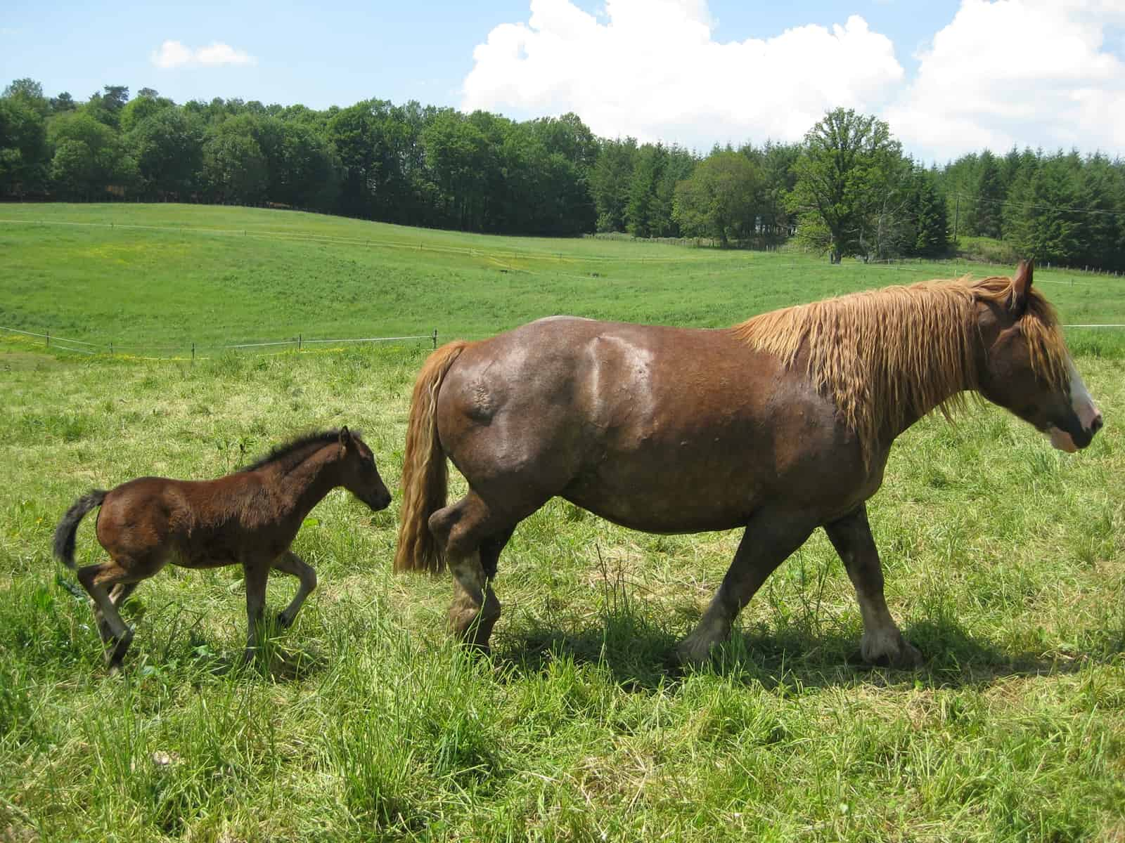 Surrogate Mares Impact On Embryo Transfer Foals Evaluated The Horse