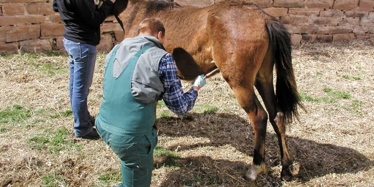 Castration The When And How The Horse