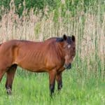 Determining Cause of Weight Loss in Horses
