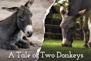 A Tale of Two Donkeys