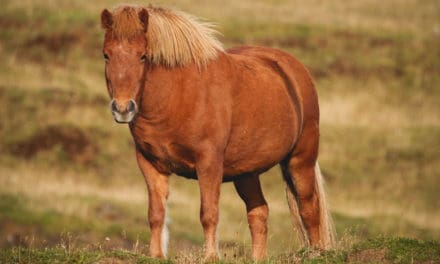 Is Your Overweight Horse Eating Enough?