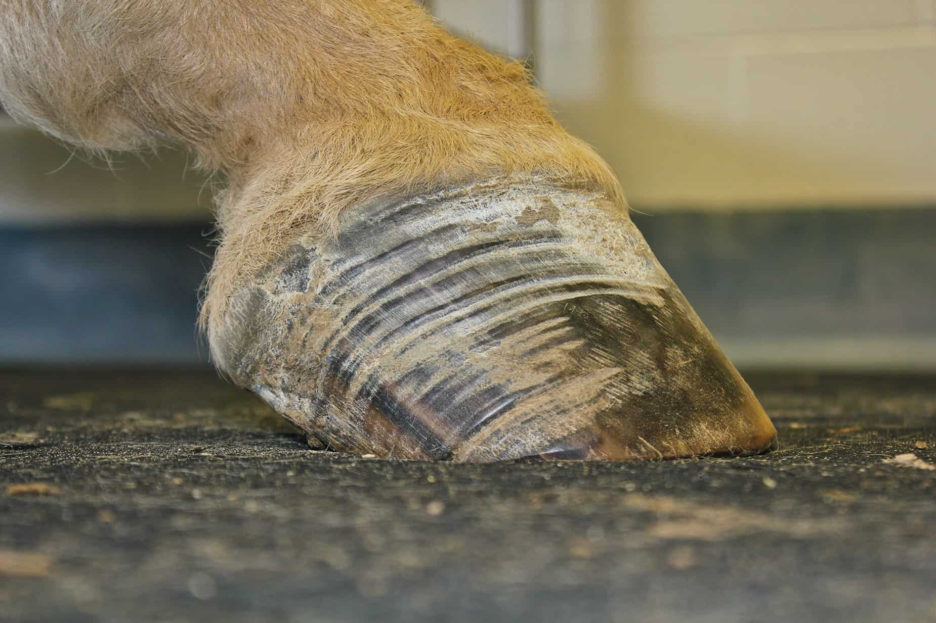 Hoof Care for EMS Horses – The Horse
