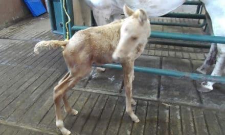 Managing Meconium Impactions in Neonatal Foals